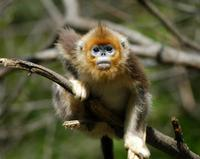 Image of: Rhinopithecus roxellana (golden snub-nosed monkey)
