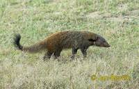 Herpestes vitticollis - Striped-necked Mongoose