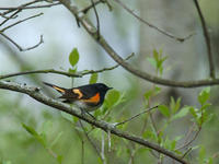 Image of: Setophaga ruticilla (American redstart)