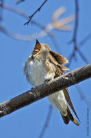Image of: Stelgidopteryx serripennis (northern rough-winged swallow)