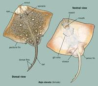 Image of: Raja clavata (thornback ray), Rajidae (rays and skates)