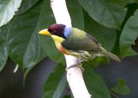 Lemon-throated Barbet - Eubucco richardsoni