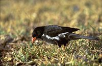 Red-billed Buffalo-Weaver - Bubalornis niger
