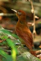 A Ruddy Woodcreeper photographed during a FONT Guatemala tour