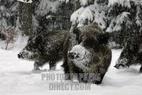 wild boars in Snow Covered winterforest ( Sus scrofa ) stock photo
