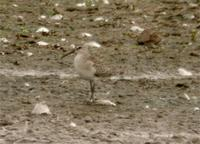 Curlew Sandpiper at Venus Pool 9th September (Jim Almond)