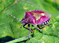 : Dolycoris baccarum