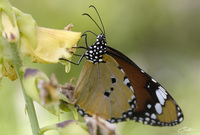 Danaus chrysippus Plain Tiger photo