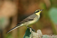 Green-backed Wagtail 黄鶺鴒