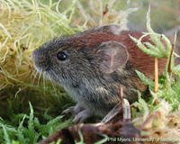 Northern Red-backed Vole, Clethrionomys rutilus