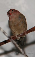 Lagonosticta senegala - Red-billed Firefinch