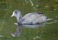 Image of: Fulica atra (common coot)