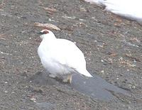 Image of: Lagopus muta (rock ptarmigan)