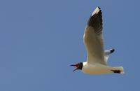 Image of: Larus maculipennis (brown-hooded gull)