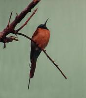 Image of: Merops nubicus (northern carmine bee-eater)