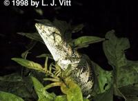 Image of: Polychrus marmoratus (many-colored bush anole)