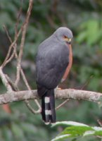 Red-chested Goshawk - Accipiter toussenelii