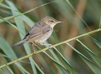 Great Reed Warbler (Acrocephalus arundinaceus) photo