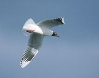 Brown-hooded Gull (Larus maculipennis) photo