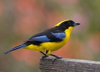 Blue-winged Mountain-Tanager - Anisognathus somptuosus
