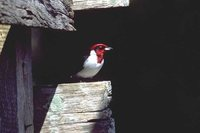 Red-capped Cardinal - Paroaria gularis