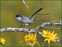 Black-tailed Gnatcatcher in Organ Pipe NM