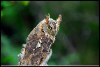 소쩍새(Otus scops Common Scops Owl)