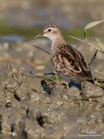 Long-toed Stint (Provisional ID)