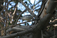 : Mniotilta varia; Black And White Warbler