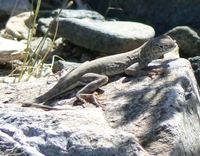 : Cophosaurus texanus; Greater Earless Lizard