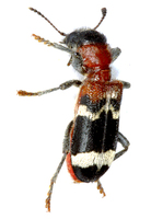 Thanasimus formicarius - European Red-bellied Clerid