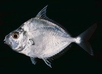Leiognathus equulus, Common ponyfish: fisheries, aquaculture