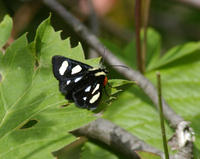 Image of: Alypia octomaculata (eightspotted forester)