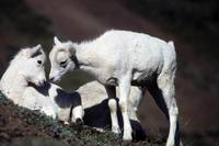 Ovis dalli - Kenai Dall Sheep