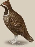 Image of: Tetrastes sewerzowi (Severtsov's hazel grouse)