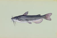 Image of: Ameiurus catus (white catfish)
