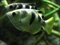 Image of: Toxotes jaculatrix (archerfish)