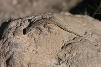 Image of: Urosaurus ornatus (tree lizard)