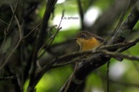 Pygmy Blue Flycatcher - Muscicapella hodgsoni