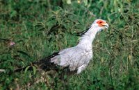 Secretary-bird - Sagittarius serpentarius