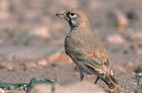 Thick-billed Lark - Ramphocoris clotbey