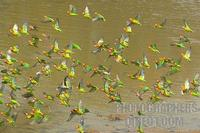 Lillians ( Nyasa ) Lovebirds taking off from river bank stock photo
