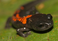: Pseudoeurycea bellii; Bell's False Brook Salamander