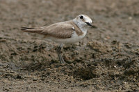 Juvenaile Kentish Plover