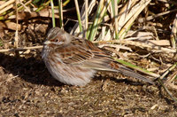Pine Bunting Photograph by Mark Breaks