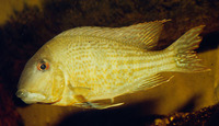 Geophagus surinamensis, Redstriped eartheater: aquarium