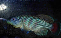 Nothobranchius jubbi, : aquarium