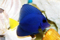 Zebrasoma xanthurum, Yellowtail tang: aquarium