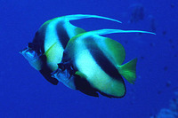 Heniochus intermedius, Red Sea bannerfish: aquarium