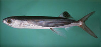 Cheilopogon spilonotopterus, Stained flyingfish: fisheries
